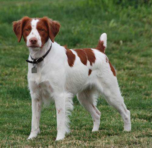 Brittany Spaniel Dog Breed desktop wallpaper