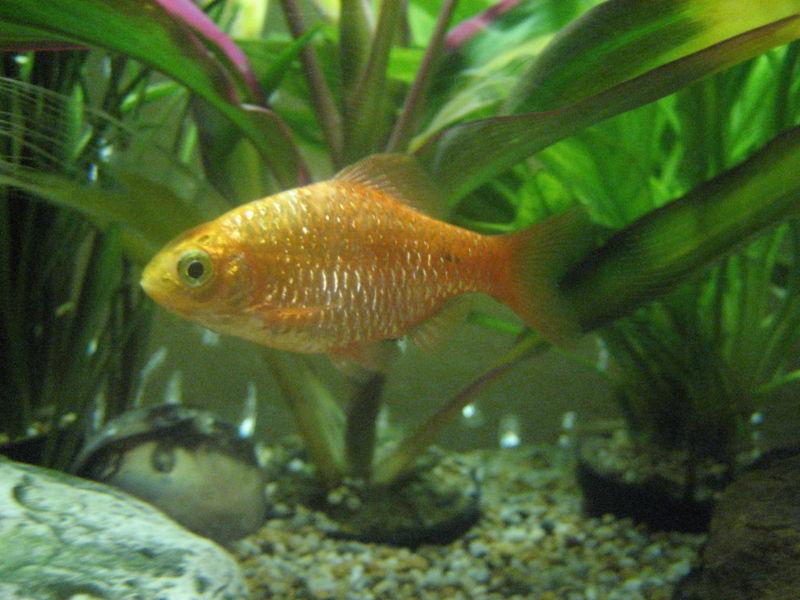 Fish Pictures: Rosy barb - Puntius conchonius