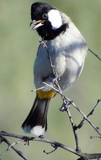 Burung Kutilang, Cap burung murahan memang masih melekat pada burung ini, bahkan masih ada kicaumania yang merasa malu pelihara burung kutilang. Padahal dari segi kualitas suara nggak kalah dari burung lain, volume + kemampuan mimikirnya tidak kalah sama kacer, pentet, Cucak Ijo, bahkan MB sekalipun. Berikut kelebihan dan kekurangan kutilang dibandingkan burung lain, menurut pengamatan.   Kelebihan : Volume kenceng, bisa nyaingin kacer, pentet, atau Cucak Ijo, tapi kalo dibandingin sama MB lebih kenceng MB suaranya. Kemampuan mimikrinya sama dengan kacer atau MB, pengalaman, suara pleci ataupun anak ayam bisa ditiru sama kutilang, sedikit dibawah Cucak Ijo, Cucak rante mas, atau pentet, hehehe (menurut saya CI, cucak rante mas, dan pentet yang paling percis, terutama pentet). Gaya kicauanya lumayan atraktif, yang punya saya dirumah, suka sambil buka sayap + jambul berdiri tegak. perawatanya teramat sangat mudah (menurut saya) hemat buanget deh. Pagi hari : ganti air minum + tambah voer kalo tinggal sedikit (voernya awet, 1 cepuk belum abis 3 hari), kasih jangkrik 3-5 ekor (kalo saya cuma 3), kasih pisang kepok atau pisang siam. Sore harinya : kasih jangkrik 3-5 (kalo saya masih 3). Ngocehnya rajin + ga isa diem cerewet. Ada yang bilang kotoranya banyak, tapi punya saya dirumah dikit banget kotoranya, terus ga bau kayak cucak keling. Kekurangan : Rata-rata temen saya bilang, warna bulu dan bentuk kurang menarik (walaupun menurut saya bagus). Volumenya kenceng, hati2 kalo di gantang deket burung yang laen (pengalaman saya, kacer dah lumayan rajin, tiba2 diem waktu ni burung berkicau, terus sekarang kacer saya jadi jarang bunyi ;( ). Suara monoton/kurang bisa mengaransemen ulang lagu (pengalaman kutilang saya dirumah : kalo bunyi satu lagu - satu lagu, kalau lagi bawain kapas tembak, ya terus aja kapas tembak, beres kapas tembak, langsung ciblek, terus aja ciblek, dan seterusnya). Tiap ganti lagu, pasti ada jeda (saya belum menemukan cara ngilangin jedanya). Suara tila