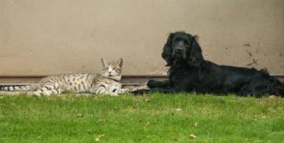 Foto-foto seekor anak kucing dan seekor anak anjing spaniel yang tumbuh bersama 03