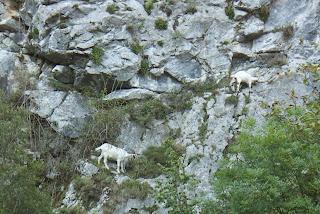 Sobrescobio, Ruta del Alba, cabras en las rocas