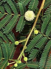 ギンネム(種子/葉) はPAKを遮断するらしい<br>特殊なアミノ酸 「ミモシン 」を含む