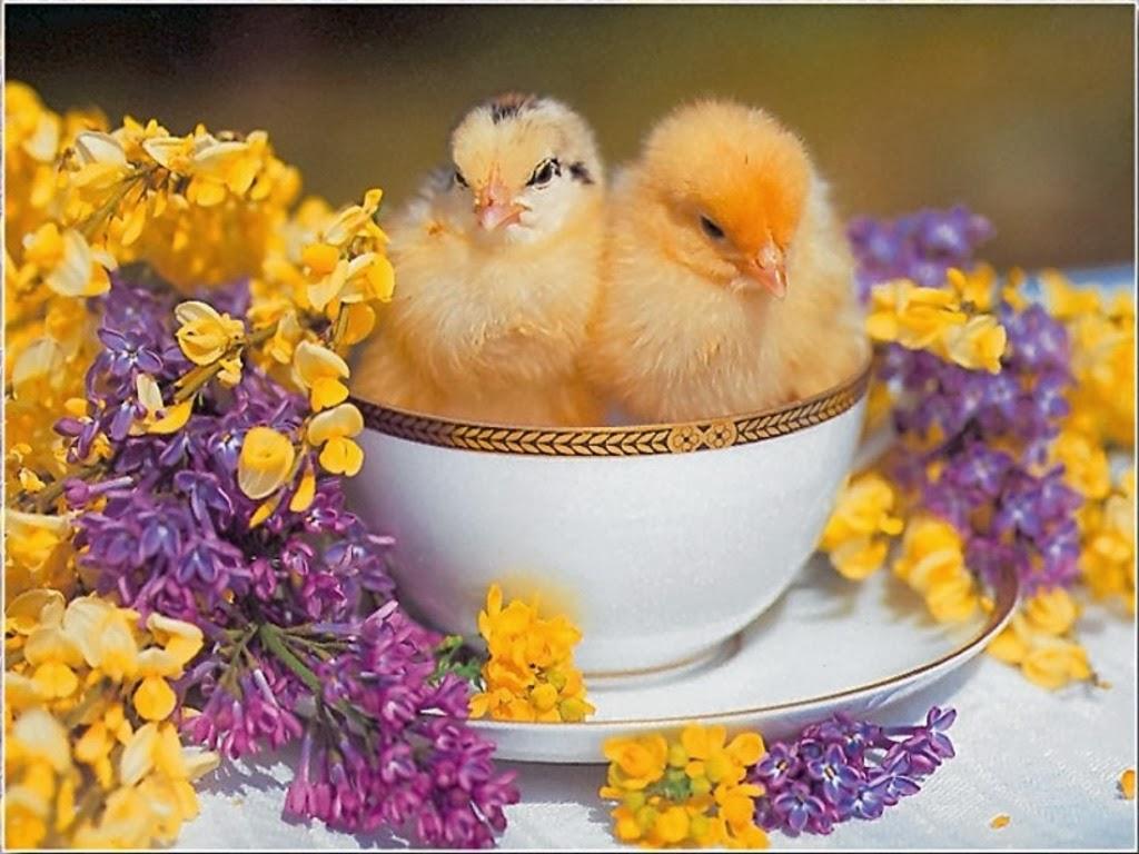 lindo pollo en una taza de té