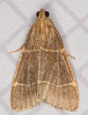 Hypsopygia glaucinalis.   Moth that came to my window on 19 July 2012.