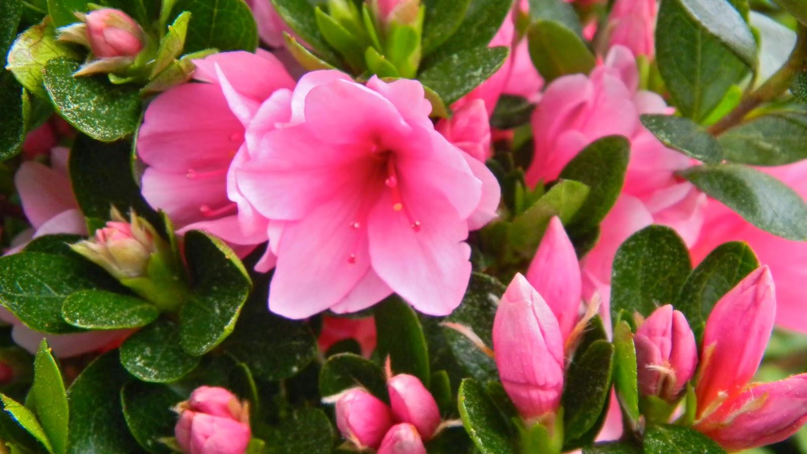 Coral Bells azalea