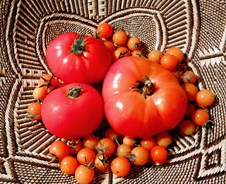 Four varieties of tomatoes in basket