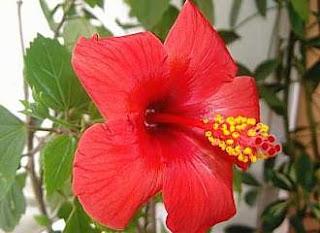 dieta do chá de hibiscus hibisco para secar
