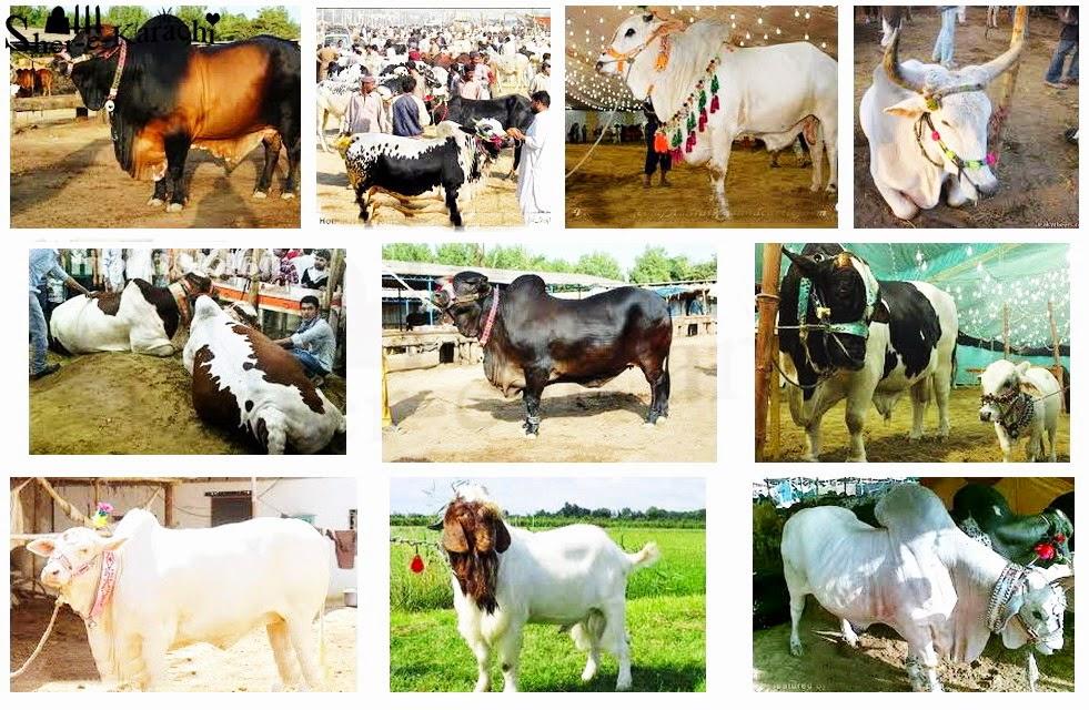 Cow Malir Mandi 2014 Karachi Cow Mandi 2014 Karachi