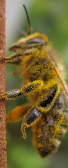polen banyosu yapmış bir işci arı
