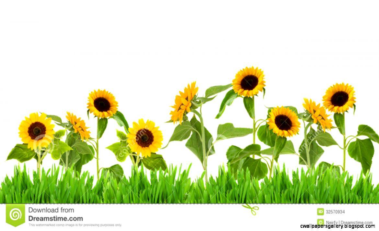 Sunflower Field Clipart   Clipart Kid