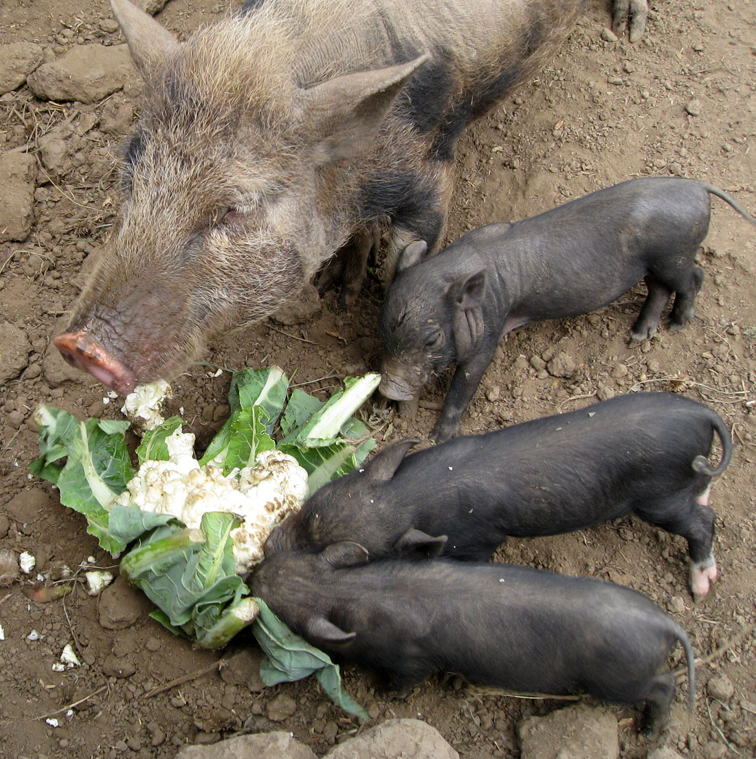 Little pet pigs breakfast with mother - What do miniature pigs eat ...