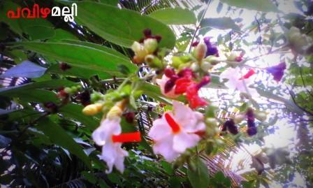 പവിഴമല്ലി / Pavizhamalli