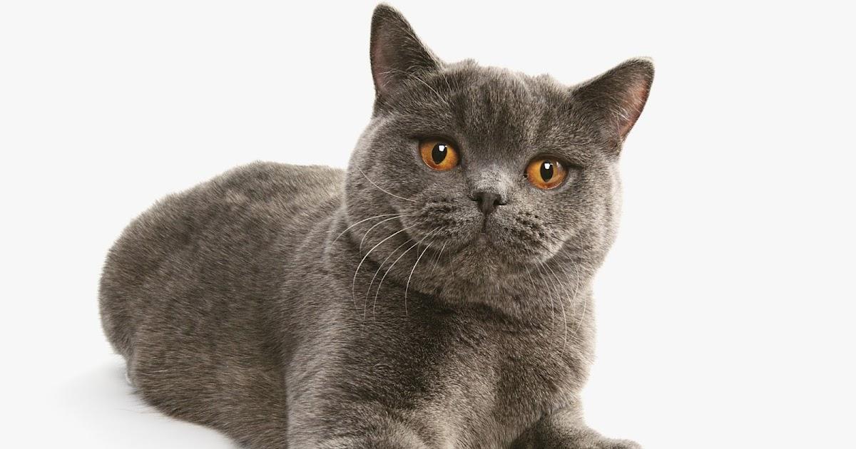 Jenis Kucing Adearisandis Blog