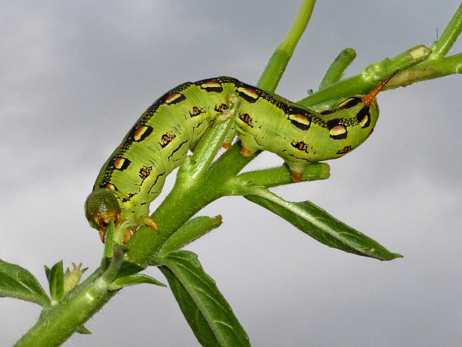 Hyles lineata caterpillar