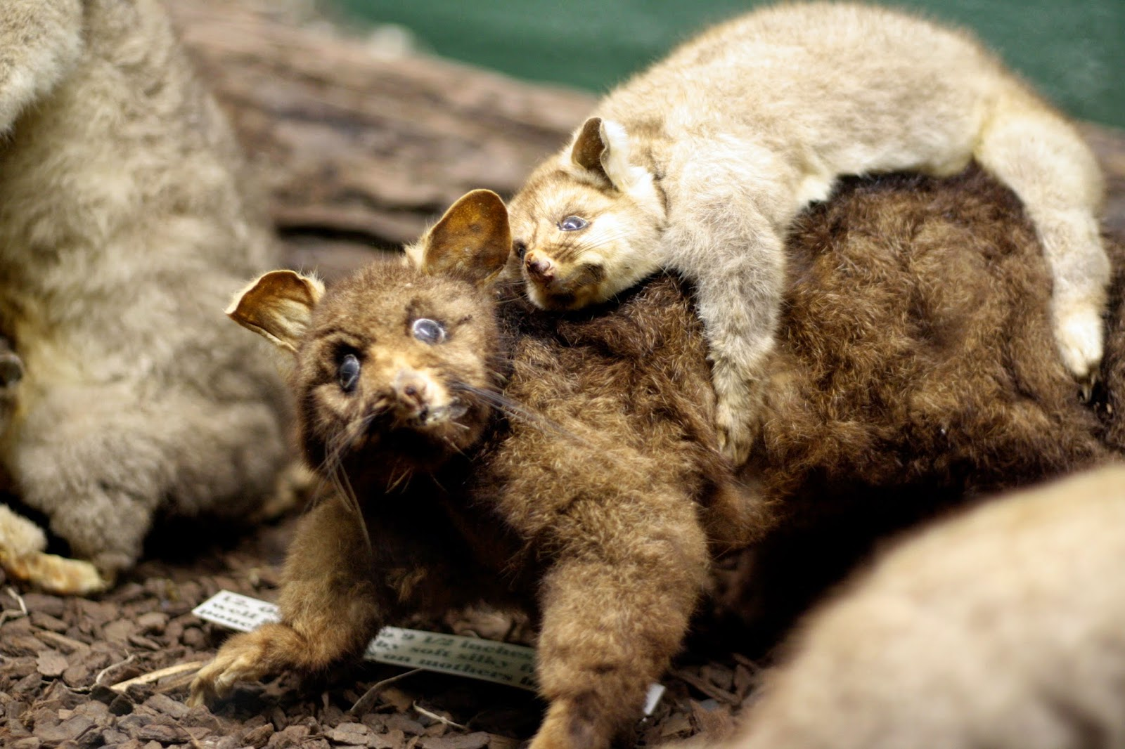 A small, white possum, rides a larger brown possum. They both look very soft.