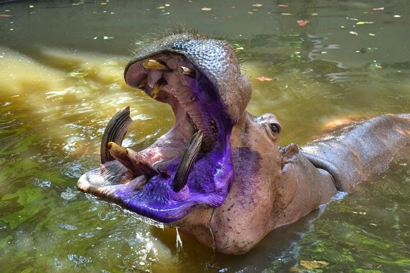 Zoo chiang Mai, Thailande