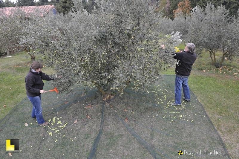 Valérie et Alain Blachier ramassent les olives photo blachier pascal