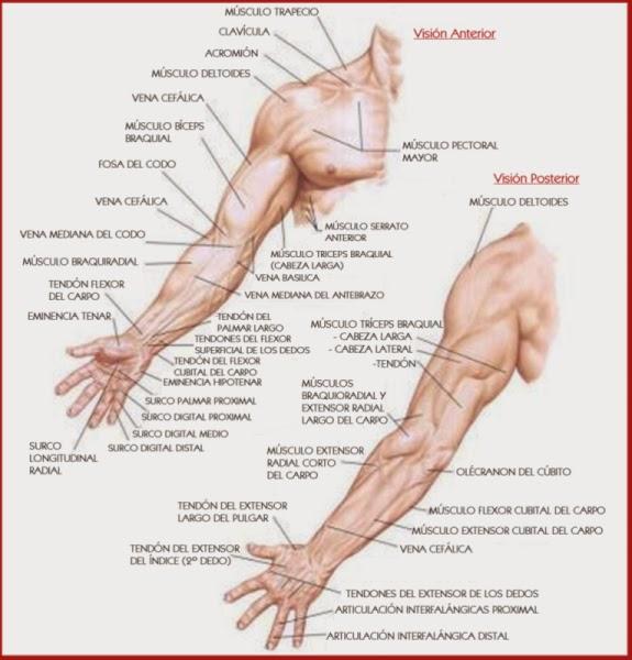 brazos ~ el cuerpo humano y sus partes explicado y dibujos