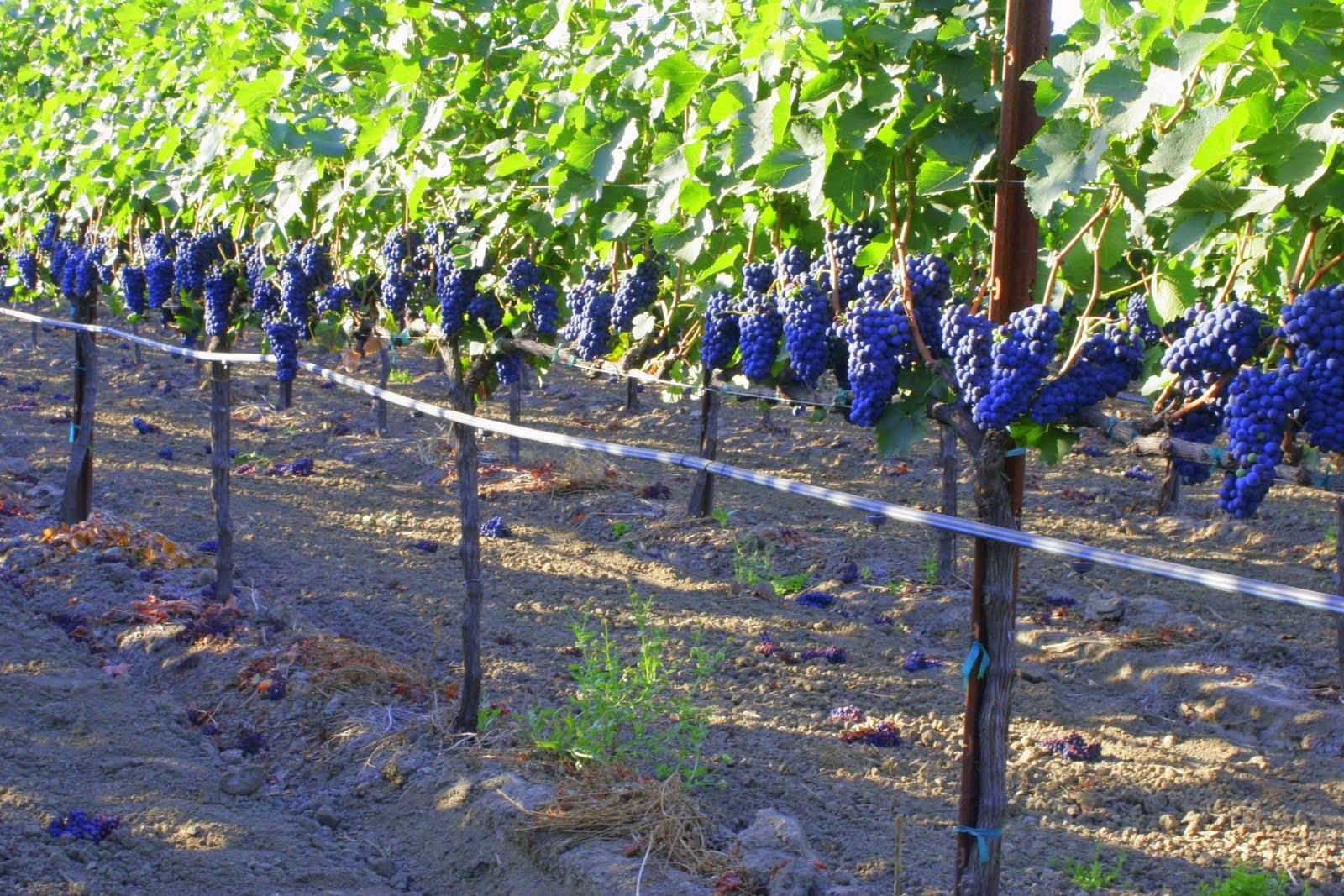 Шпалера для винограда своими руками, изготовление по фото 14