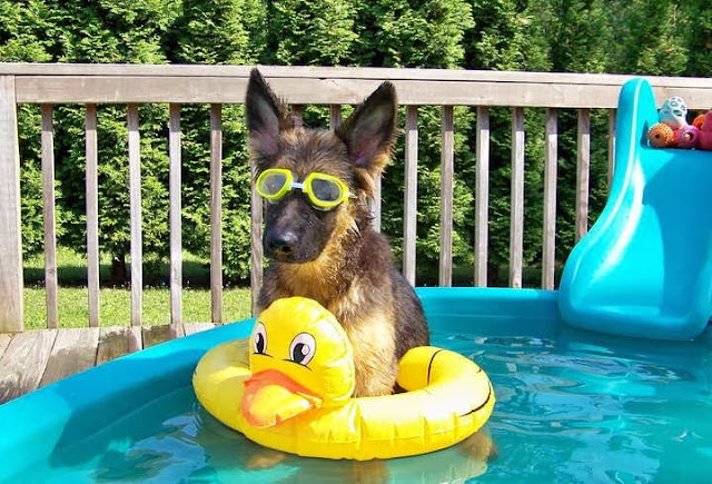 adorable dog pictures, german shepherd puppy playing in kiddie pool