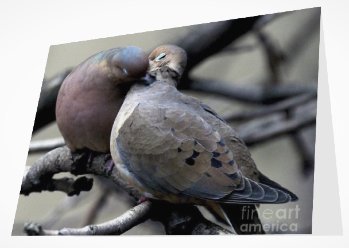 """COOING MOURNING DOVES 2"" (GREETING CARD OR PRINT)"