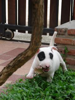 bull terrier 2cc  : การ ซื้อ ขายสุนัข ในอินเตอร์เน็ท ที่ควรรู้bull terrier 2cc  : การ ซื้อ ขายสุนัข ในอินเตอร์เน็ท ที่ควรรู้