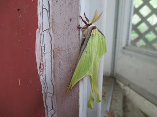 Actias luna moth