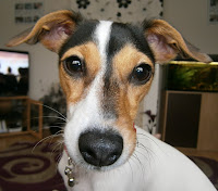 * Gracie * our 11 month old Jack Russell