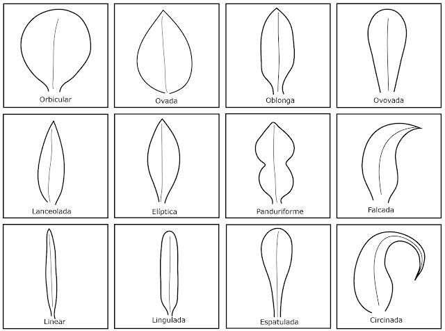 tipos de hojas o filidios que hay en musgos y hepáticas