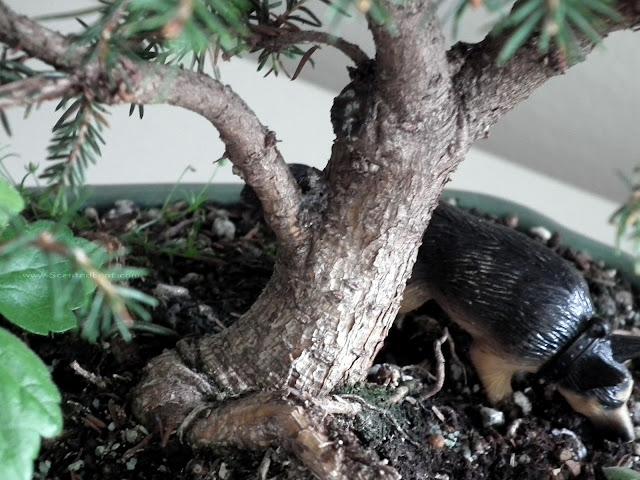 Bird's Nest spruce aka Picea abies 'Nidiformis' gnarled trunk
