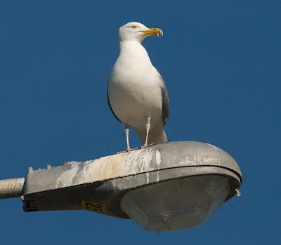 American Herring Gull (Larus argentatus smithsonianus)