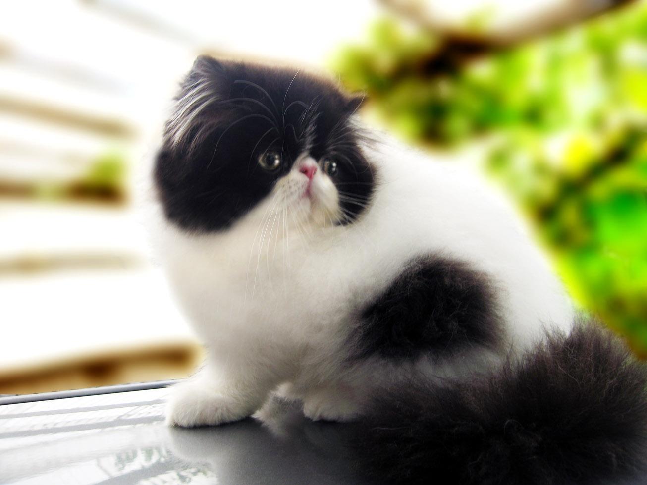 Gambar Kucing Persia galau