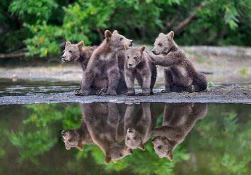 Ursos em família
