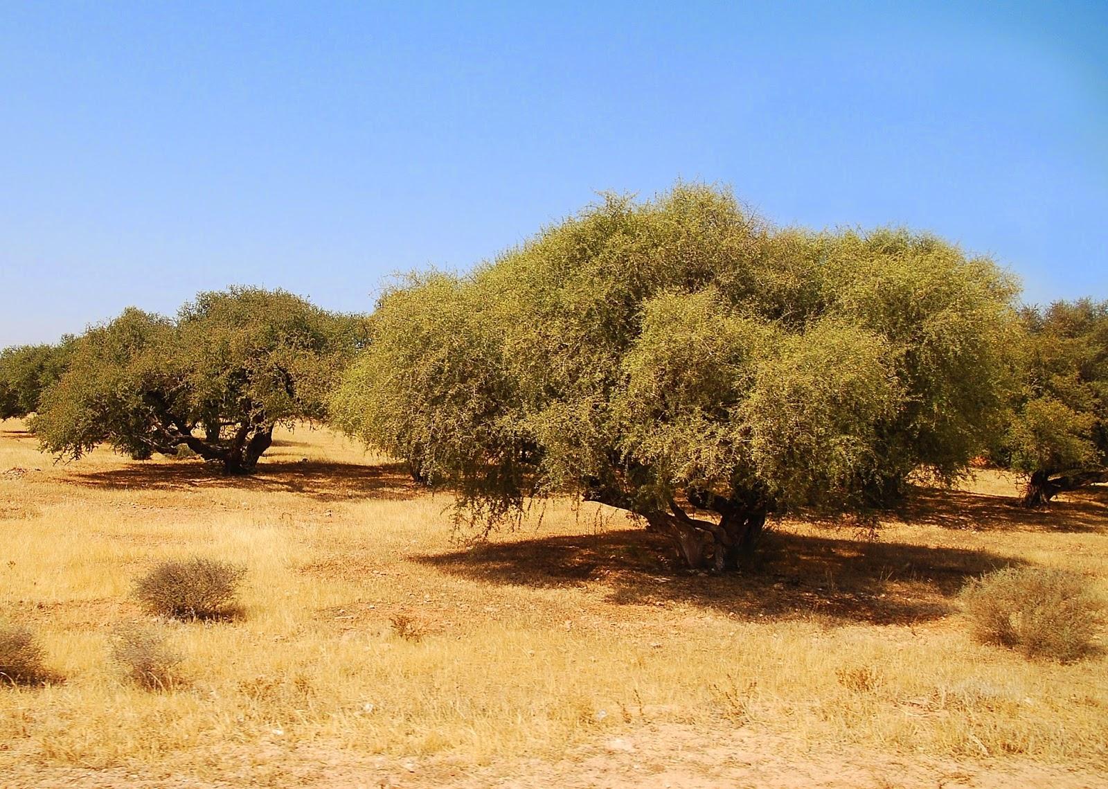 摩洛哥堅果