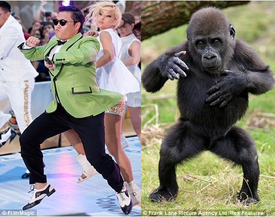 Lucu, Gorila Ini Pandai Berjoget Gangnam Style