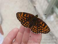 Papillon sur une main, papillon orange et noir Mélitée du mélampyre
