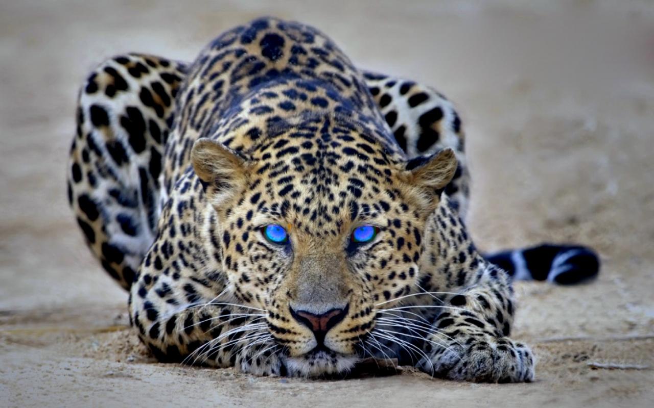 Eye of the Leopard - Free Desktop Wallpaper