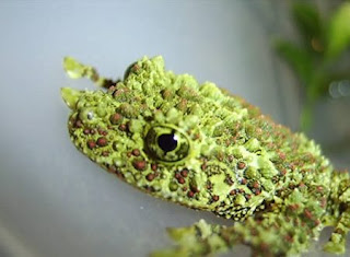 Weirdest Frogs On Earth Vietnamese Mossy Frog