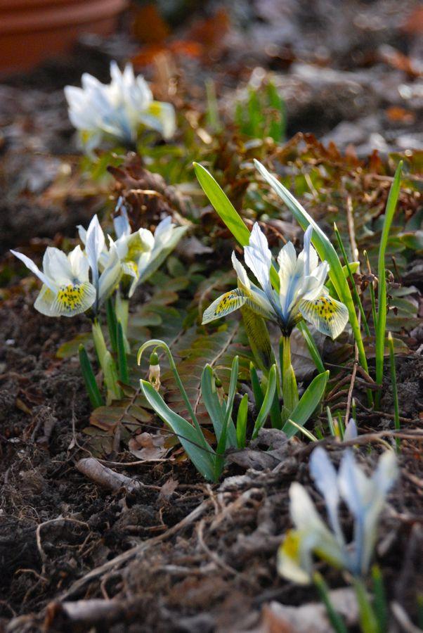 Iris reticulata 'Katherine Hodgkin'.