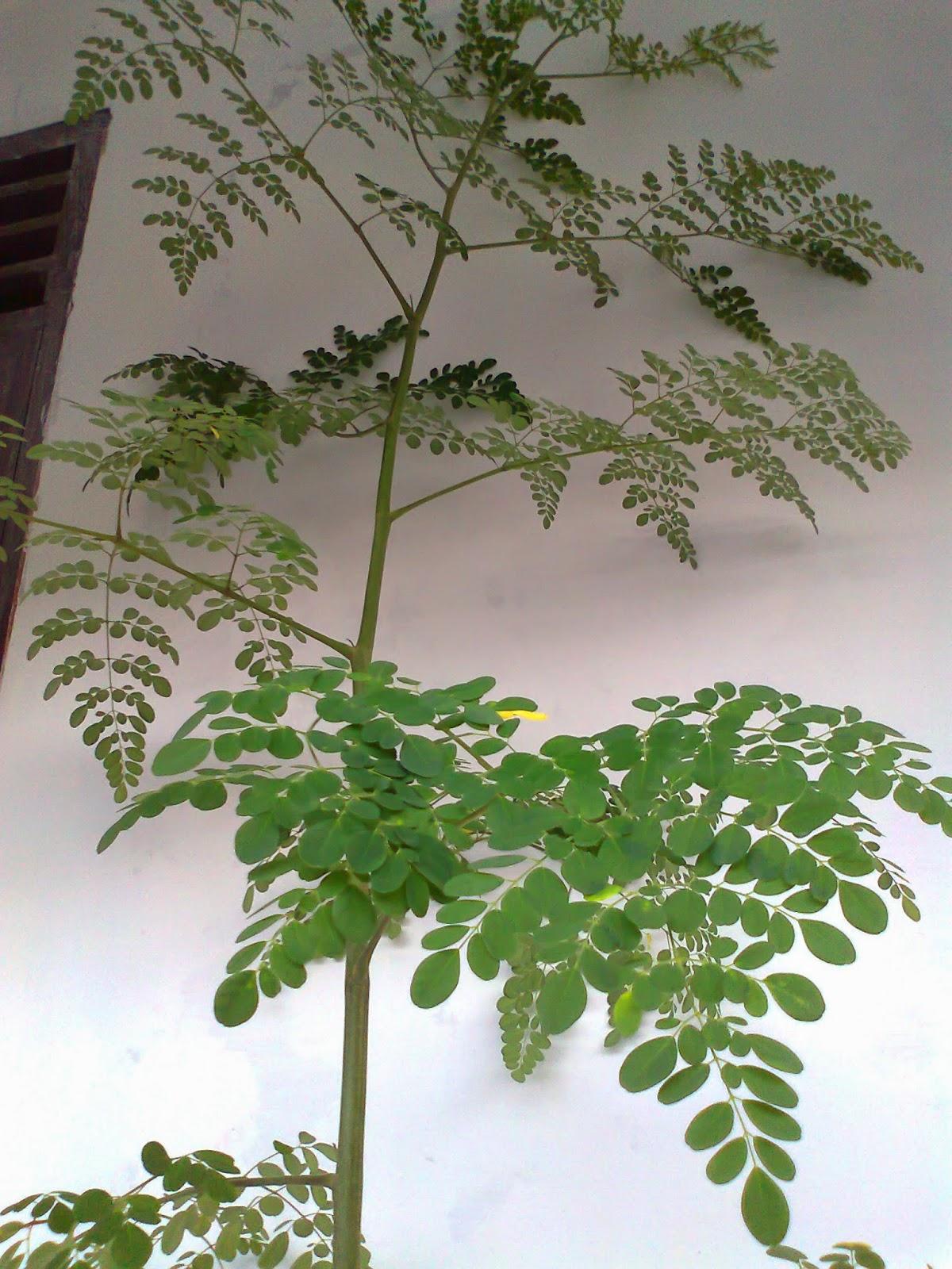 Batang Kelor Moringa Oleifera