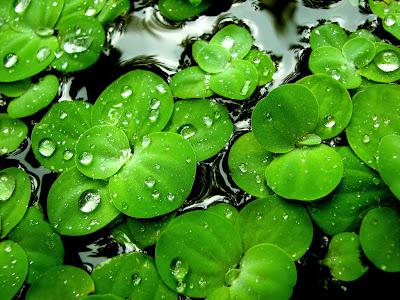 Lilies green wallpaper