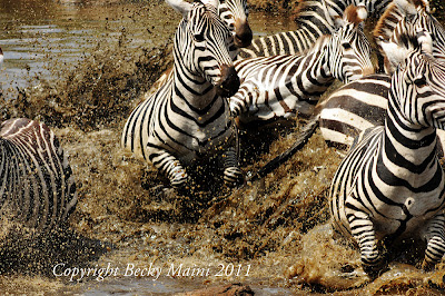 Zebras, Serengeti, Tanzani honeymoon