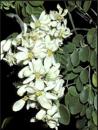 foto bunga pohon kelor