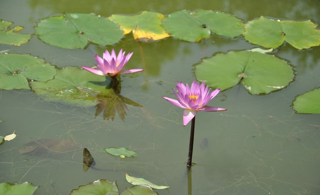 Water Lily Flowers Pictures
