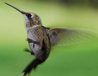 Foto Burung Kolibri Bagus