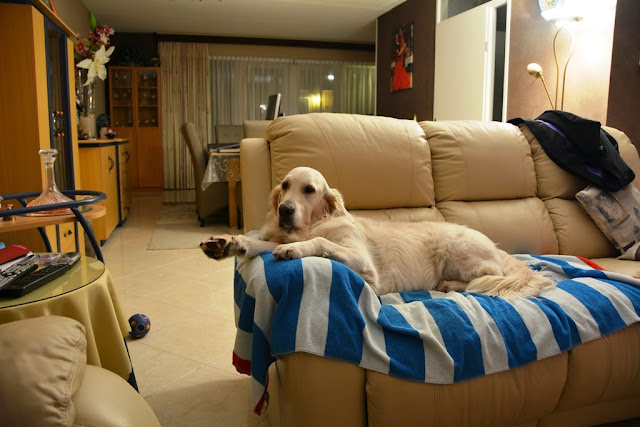 Golden Retriever couch
