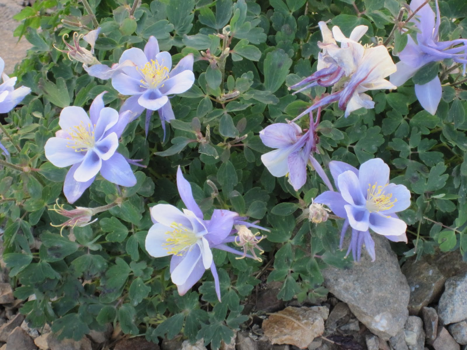 Cannundrums Colorado Blue Columbine