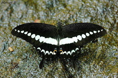 Malabar Banded Swallow Tail