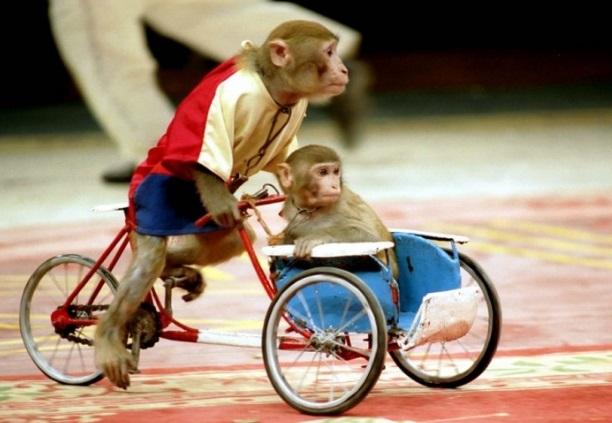 Monos en bicicleta muy graciosos