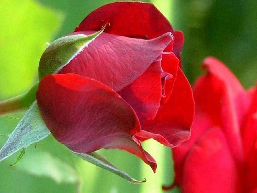 90 wedding red rose flower wallpapers love roses pictures urdu